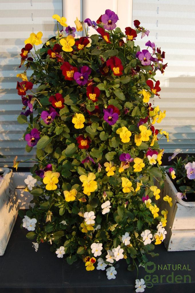 rośliny-na-balkon
